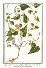 Old botanical illustration of Quamoclit americana (Ipomoea hederifolia). By G. Bonelli on Hortus Romanus, publ. N. Martelli, Rome, 1772 – 93