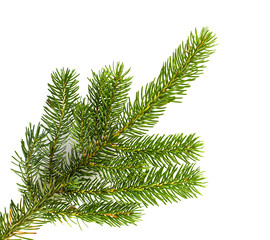 Pine tree branches isolated on white background.