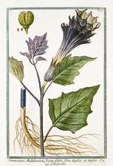 Old botanical illustration of Stramonium malabricum (Datura stramonium). By G. Bonelli on Hortus Romanus, publ. N. Martelli, Rome, 1772 – 93