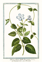 Old botanical illustration of Pervinca vulgaris (Vinca minor). By G. Bonelli on Hortus Romanus, publ. N. Martelli, Rome, 1772 – 93