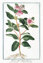 Old botanical illustration of Pervinca vulgaris latifolia (Vinca major). By G. Bonelli on Hortus Romanus, publ. N. Martelli, Rome, 1772 – 93