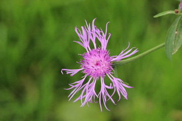 Thistle flower along the river Rotte