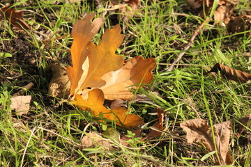 Maple Leaf on the ground during autumn season