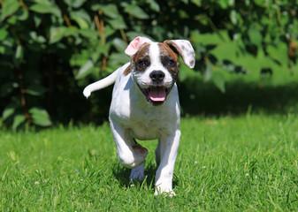 American bulldog puppy running outdoors