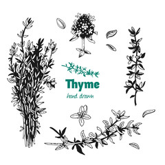 Thyme plant, leaves, flowers and bunch vector hand drawn illustration