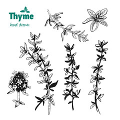 Thyme twigs, leaves and flowers vector hand drawn illustration