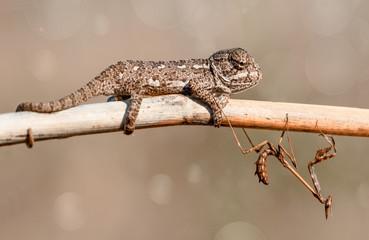 Baby Green chameleon  - Stock Image