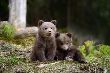 Wall Mural - Young brown bear in the forest
