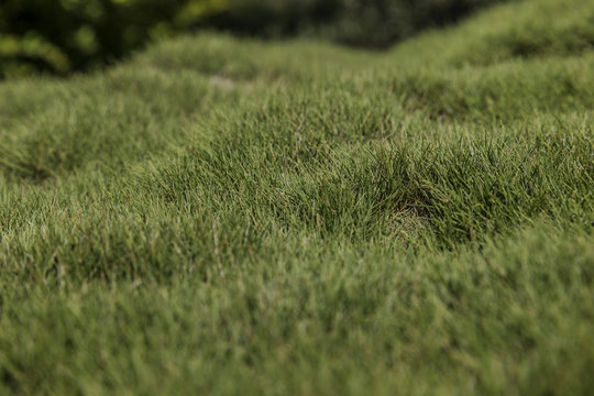 Bumpy green zoysia creeping grass leaves background closeup