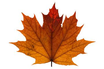 orange dry fallen maple leaf on white background