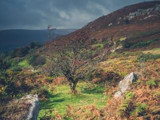 Hawthorne tree on a moor