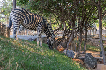 Zebra eating grass. Lubango. Angola.