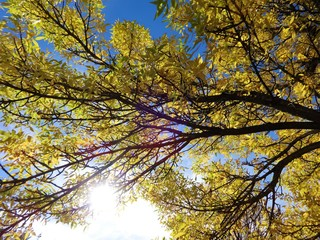 Looking at a blue sky under yellow color leaves and branches on a sunny day in October