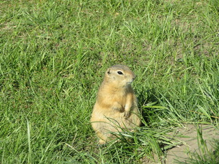 Gopher hole in the grass