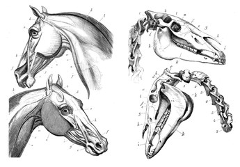 The anatomy of the horse.