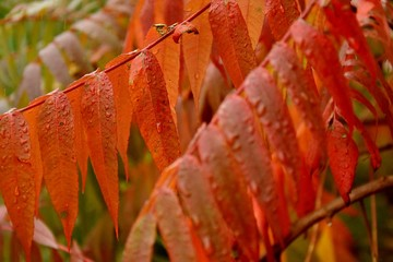 leaves sumah after rain