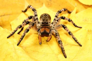 Dangerous creepy  tarantula Lycosa singoriensis