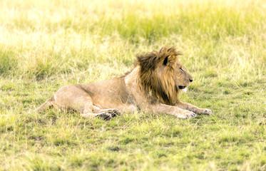 Wild lions on Safari