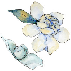 Wildflower gardenia flower in a watercolor style isolated. Full name of the plant: gardenia. Aquarelle wild flower for background, texture, wrapper pattern, frame or border.