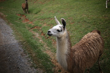 Hungry Brown and White Llama