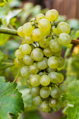 White wine grapes riesling, ready to harvest and making wine