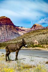 Burro at Red rock Canyon