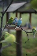 Budgie Birds in an Outdoor Aviary