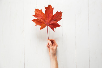 A girl is holding a fallen red color maple leaf on a white background. Autumn or Canadian concept. Top view