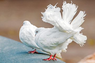 White decorative pigeons with a beautiful lush tail.