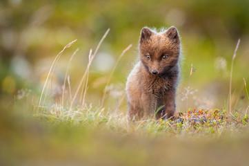 Arctic Fox in grass