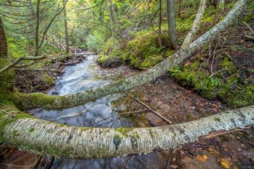 Carpenter Creek Birch