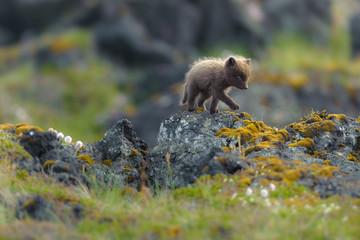Cute arctic fox walking on a mossy rock