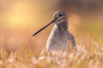 Common Snipe at eye level