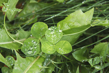 Clovers green leaves in dew drops.