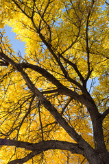 Fall American Elm Tree with golden leaves and a blue sky behind. Its trunk with thick bark is shown in the lower right corner.