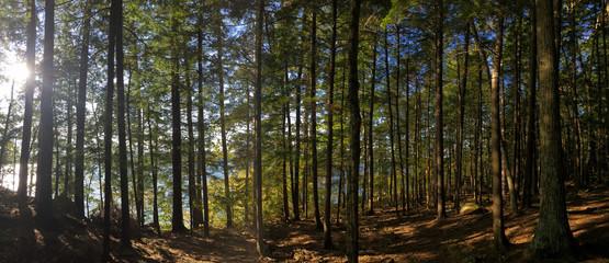 New Hampshire wooded pine forest along Lake Winnisquam