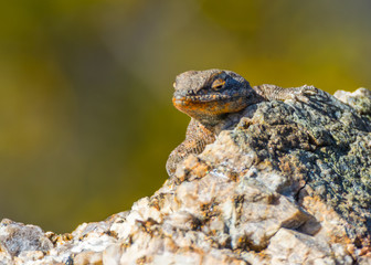 Lizard peering around a rocky edge to watch for intruders