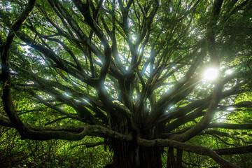Banyan Tree, Bamboo Forest, Pipiwai Trail, Hana, Maui, Hawaii
