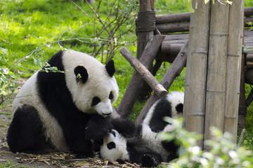 baby panda with mom
