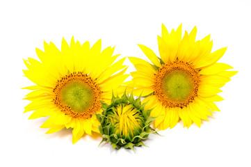 beautiful flower sunflowers on white background