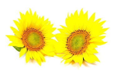 beautiful flower sunflowers on white background