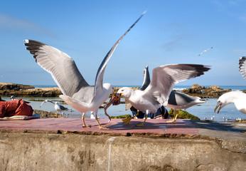 Seagulls in port, Essaouira, Morocco