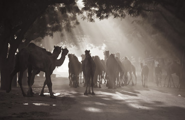 camels under sunrays