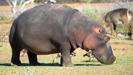 Nilpferd an Land, Namibia