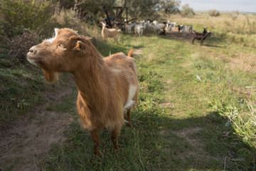 a brown goat grazing in a meadow