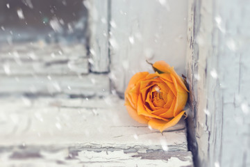 single orange rose on a wooden sieling undet the falling snow, contrast of old and fresh