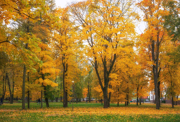 Colorful golden foliage in the autumn park. Beautiful high trees. Composition of nature