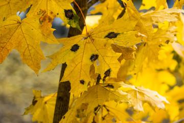 Rhytisma atserinum on autumn maple leaves. Disease maple leaves.