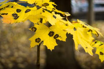 Maple tree leaf diseases. Rhytisma acerinum. Tar black spot.