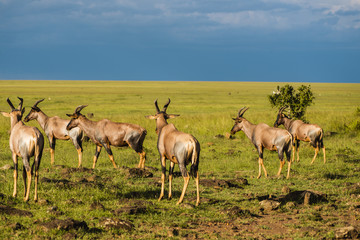 A beautiful Topi antelope on the green grassland
